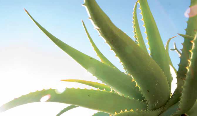 pianta-aloe-vera-barbadensis.png
