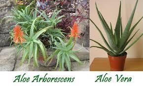 Differenza Tra Barbadensis Miller Aloe Vera E Arborescens